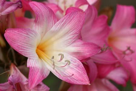 Amaryllis belladonna (1).jpg