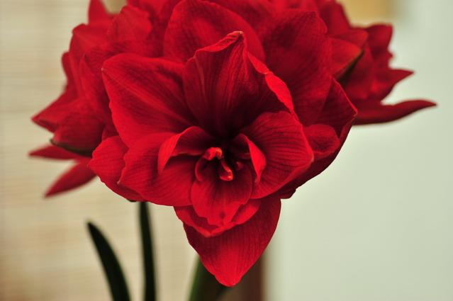 Amaryllis04.jpg