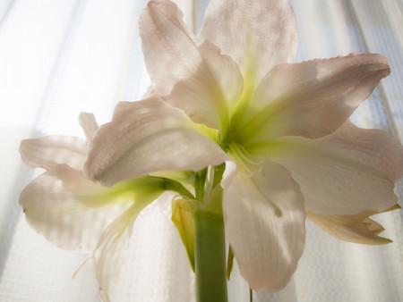 Amaryllis06.jpg