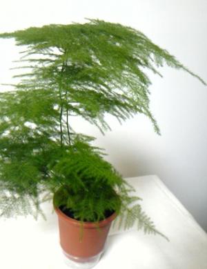 AsparagusA.jpg