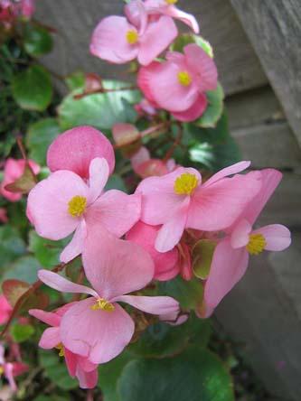 B.semperflorens (3).jpg