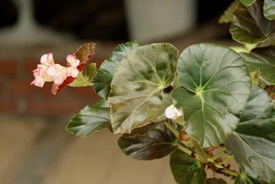Begonia (1).jpg