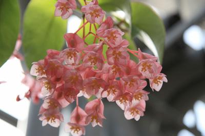 Begonia (4).jpg
