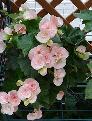 Begonia Elatior2banbana.jpg
