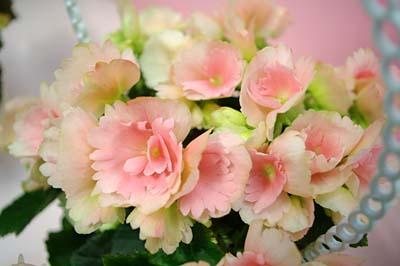Begonia ElatiorA.jpg