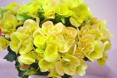Begonia ElatiorB.jpg
