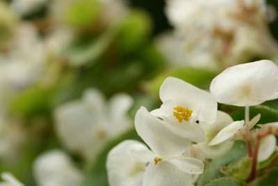 Begonia SemperflorensA.jpg