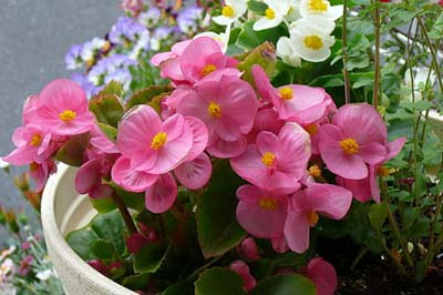 Begonia SemperflorensB.jpg