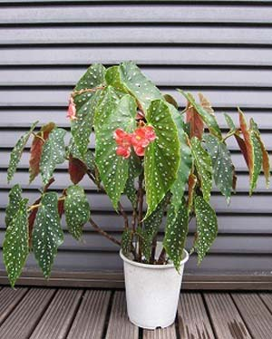 Begonia1.jpg