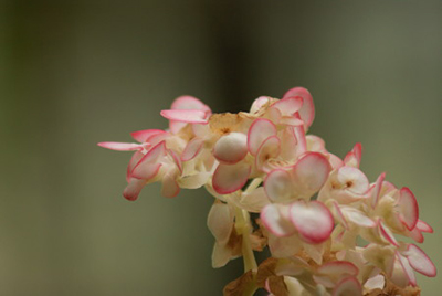 Begonia11.jpg