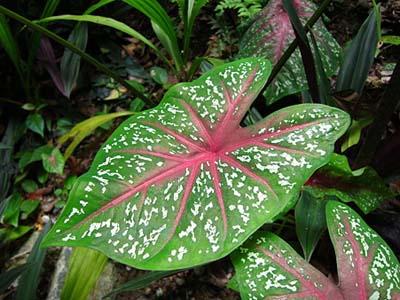 Caladium bicolorA.jpg