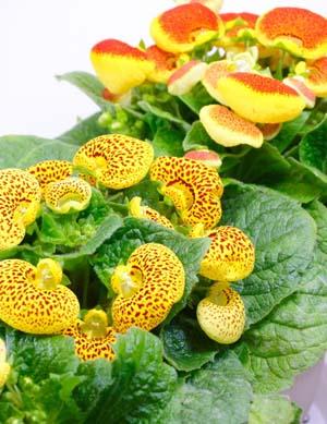 CalceolariaA.jpg