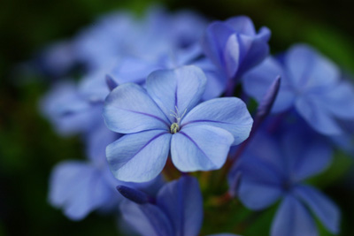 Cape leadwort rurimaturiB.jpg