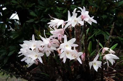 Dendrobium Moniliforme1.jpg