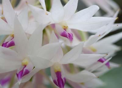DendrobiumA.jpg