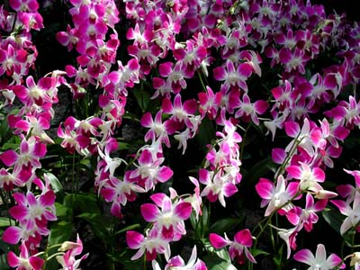 DendrobiumB.jpg