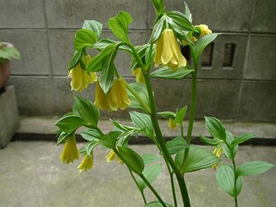 Disporum Flavensx.jpg
