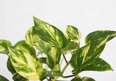 Epipremnum aureum2.jpg