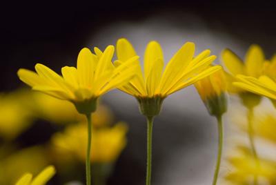 Euryops daisyB.jpg