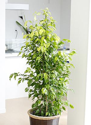 Ficus benjamina (1).jpg