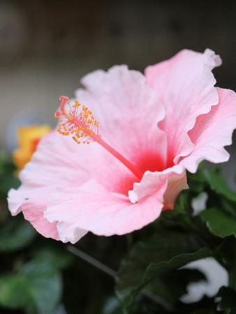 Hibiscus (4).jpg
