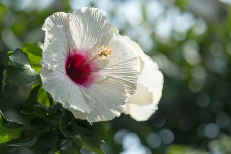 Hibiscus (5).jpg