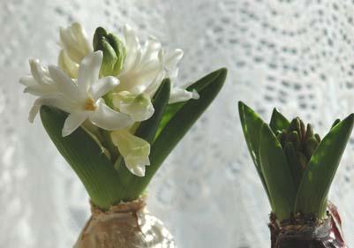 HyacinthusA.jpg