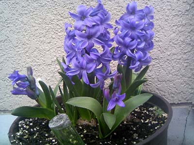 HyacinthusB.jpg