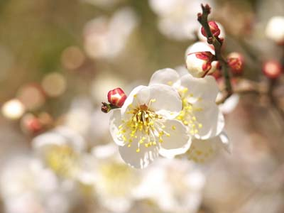 Japanese apricot (2).jpg