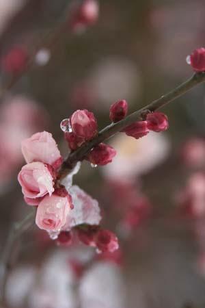 Japanese apricot300(4).jpg