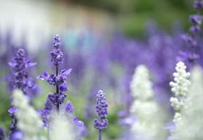LavenderC.jpg