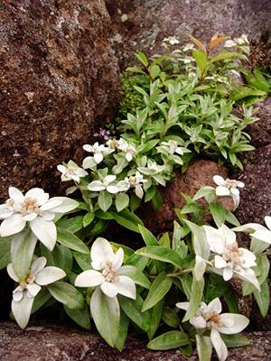 Leontopodium JaponicumB.jpg