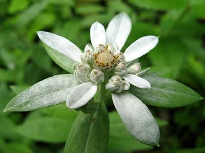 Leontopodium JaponicumC.jpg