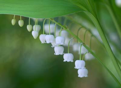 Lily of valleyA.jpg