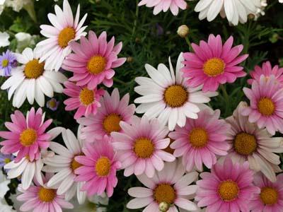 Marguerite300.jpg