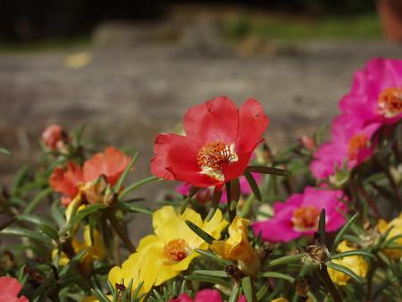 Moss-rose Purslane.jpg