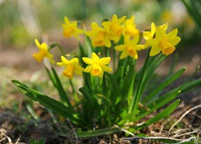 NarcissusA.jpg