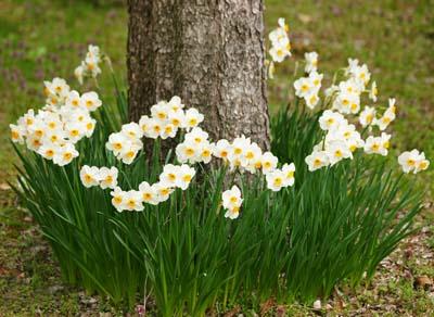 NarcissusC.jpg