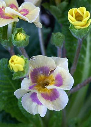 P. polyantha (2).jpg