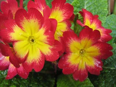 P. polyantha (3).jpg
