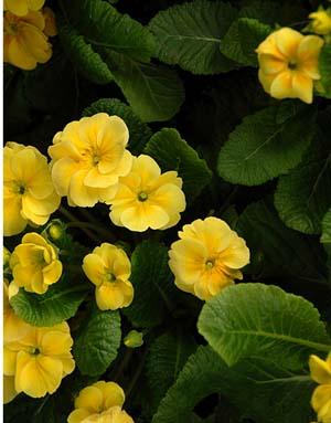 P. polyantha (5).jpg