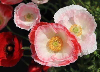 PapaveraceaeC.jpg
