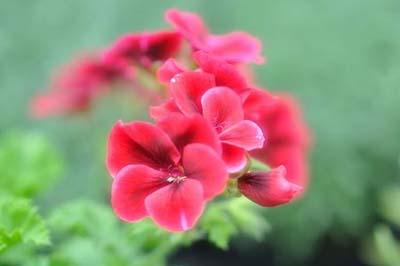 PelargoniumA.jpg