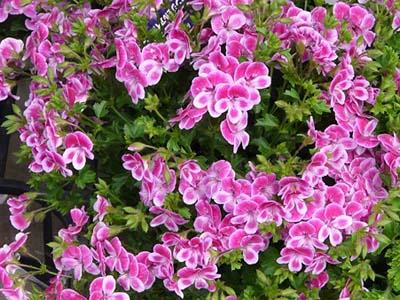 PelargoniumB.jpg