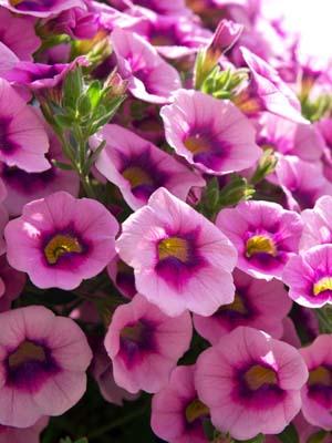 Petunia-mirionberu.jpg