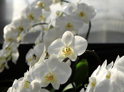 PhalaenopsisA.jpg