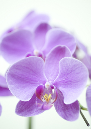PhalaenopsisB.jpg