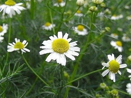 Roman chamomile (2).jpg