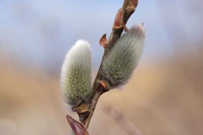 Salix GracilistylaA.jpg
