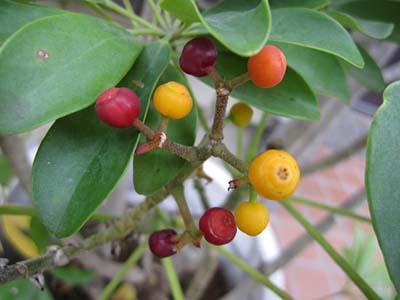 Schefflera arboricolaC.jpg